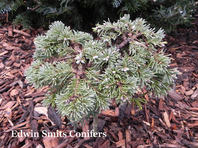 Abies amabilis 'Pacific Pearl'