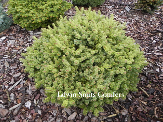 Abies balsamea 'Brandon Recker'' ('Recker # 1', A. fraseri 'Brandon Recker')