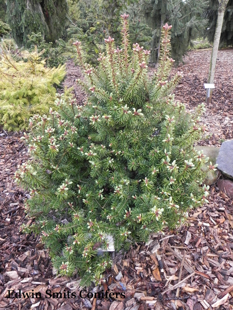 Abies balsamea 'Fox Farm'