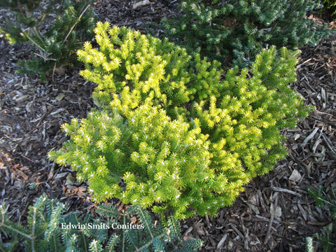 Abies koreana 'Henksgarden Yellow'