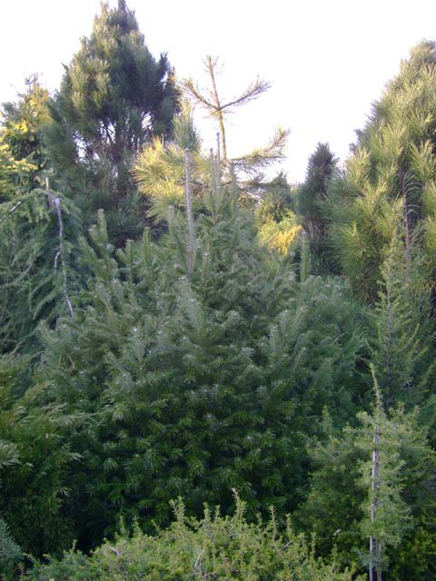 Abies sibirica