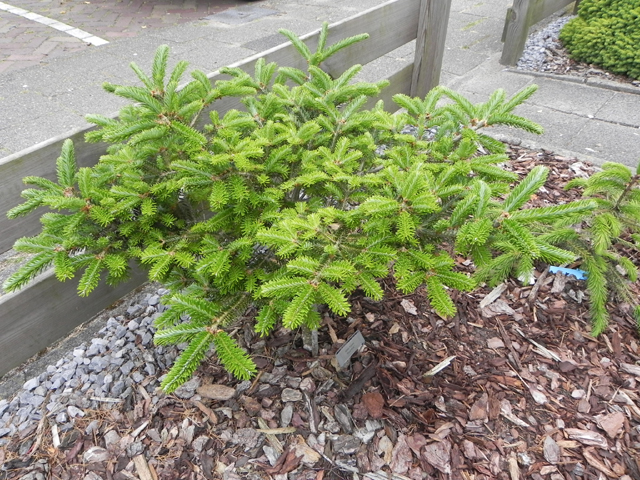 Abies fraseri 'Ford W.B.'