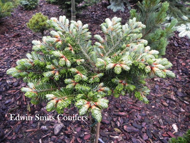 Abies fraseri 'Pine Glen'