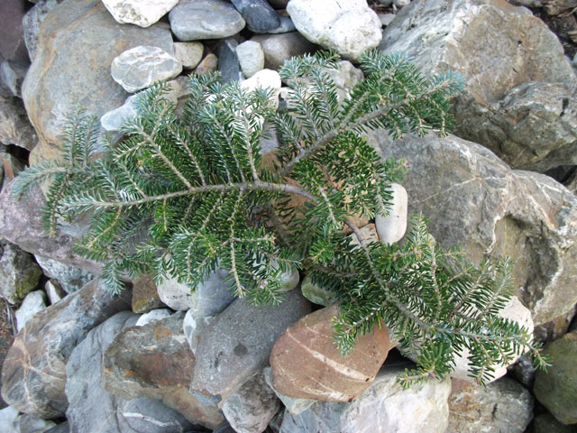 Abies koreana 'Grüne Spinne'