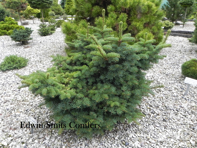 Abies magnifica 'Mt. Si'