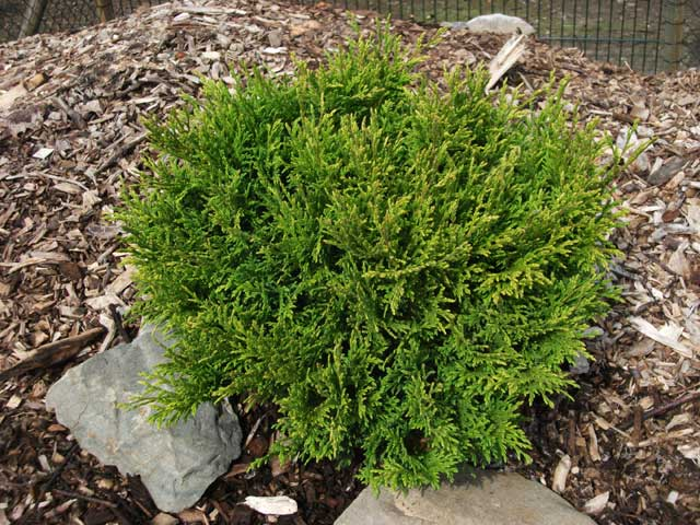 Chamaecyparis pisifera 'Filip's Happy Day'