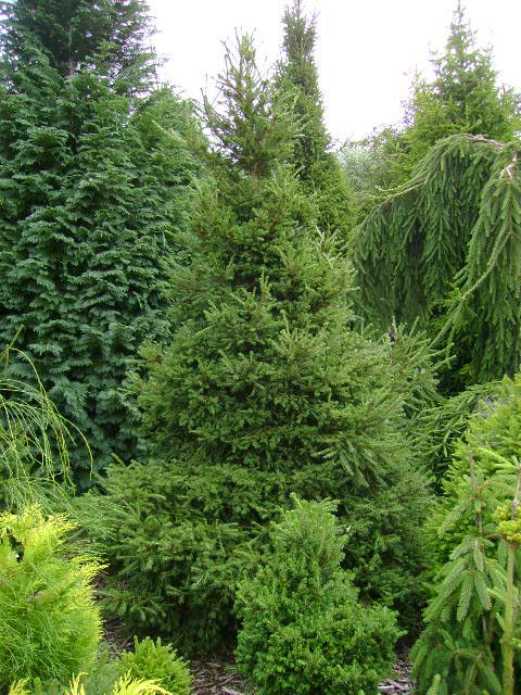 Picea abies 'Capitata'