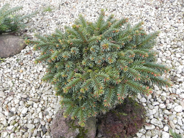 Picea abies 'Losely'