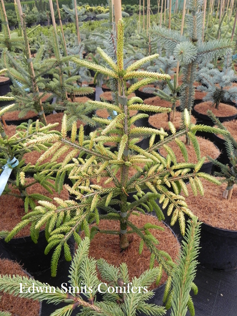 Picea orientalis 'Spring Frost'