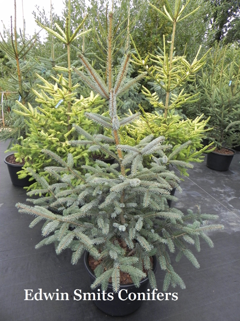 Picea sitchensis 'Filip's Silvery Blue'