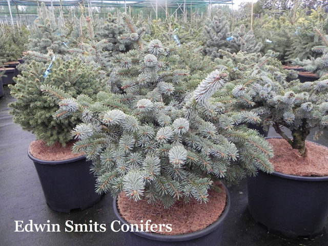 Picea sitchensis 'Hyperion'
