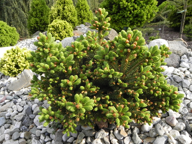 Picea glauca </em>var.<em> albertiana 'Filip's Moon Mountain'