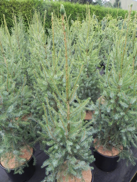 Picea omorika 'Filip's Perfect Pillar'