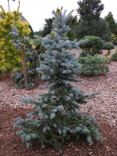 Picea pungens 'Oldenburg' ('Blue Mountain')