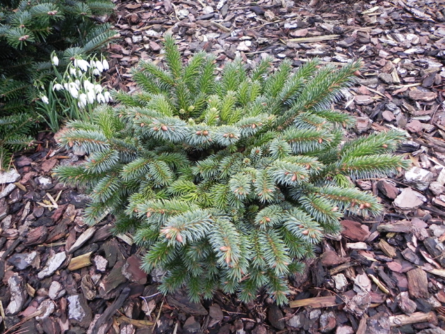 Picea sitchensis 'Ban'