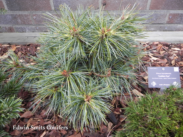 Pinus koraiensis 'Golden Eye'