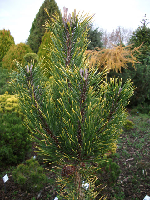 Pinus mugo 'Yellow Tip'