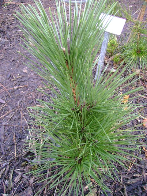 Pinus thunbergii 'Bedgebury W.B.' ('Section 16')
